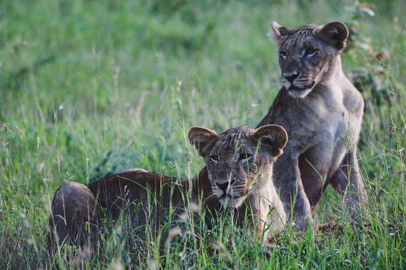 Lion Cubs Safar