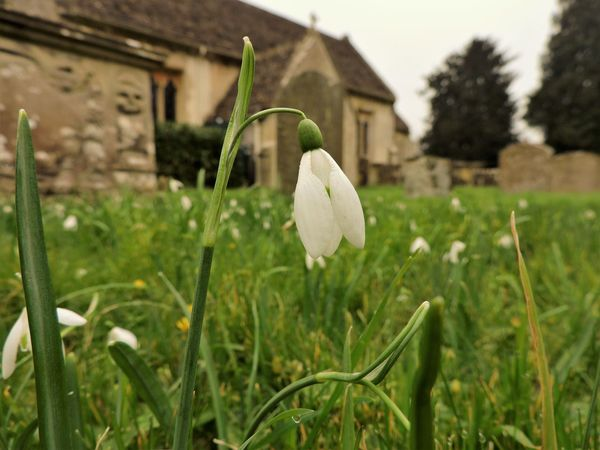 Architecture Beauty In Nature Building Exterior Built Structure Churchyard Close-up Day Field Flower Focus On Foreground Fragility Freshness Grass Grassy Green Green Color Growth Nature Outdoors Plant Selective Focus Snowdrop Leaf Petal Flower Head