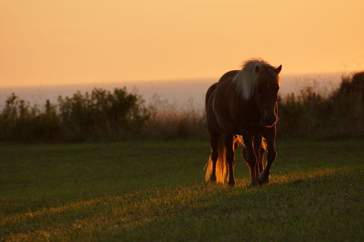 Horse standing in field during sunset