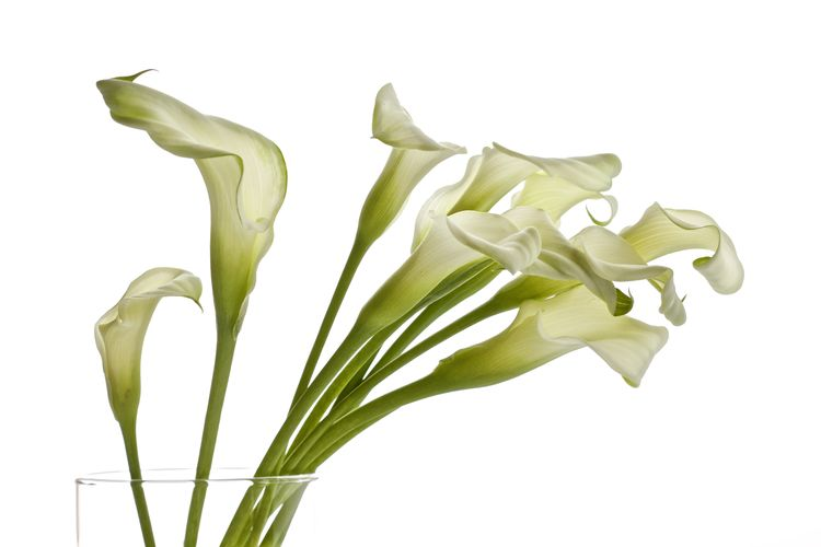Calla Lilies Calla Lilly Lilies White Lilies