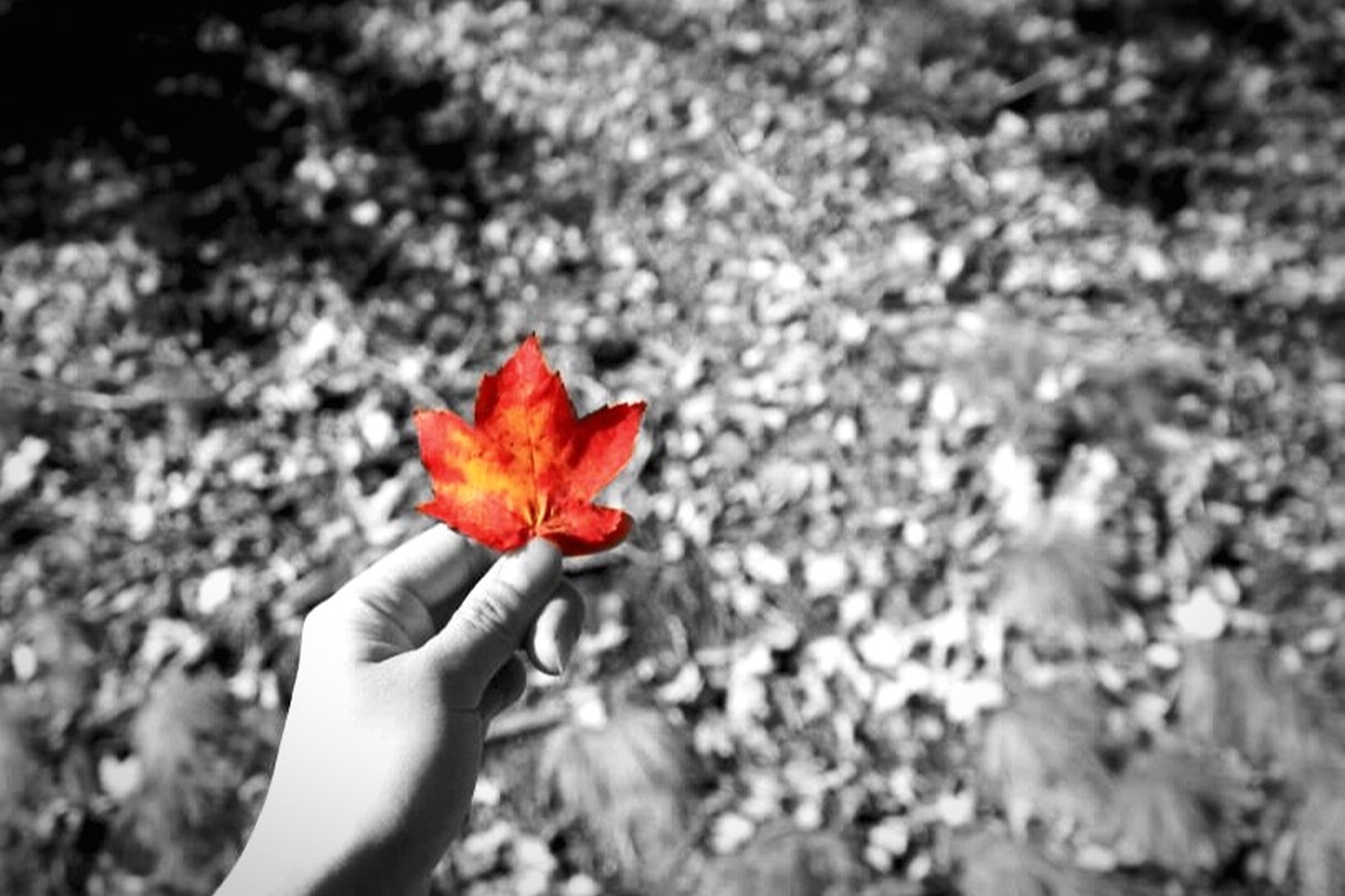 red, flower, person, petal, fragility, holding, flower head, part of, close-up, single flower, freshness, nature, unrecognizable person, lifestyles, focus on foreground, beauty in nature, outdoors