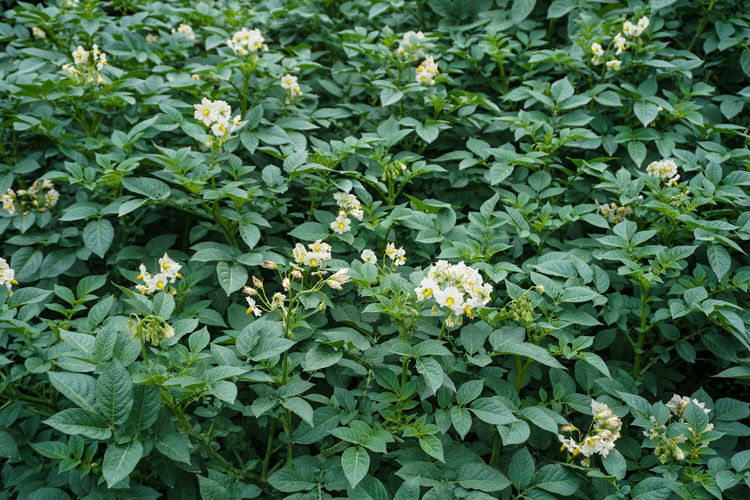 Garden Plants, Mount Bromo. Plant Part Leaf Plant Growth Green Color Beauty In Nature Flower Nature Freshness Flowering Plant No People Day Food And Drink Outdoors Food Land Full Frame Field Close-up High Angle View Herb Bromo Bromo-tengger-semeru National Park Potato Potato Field