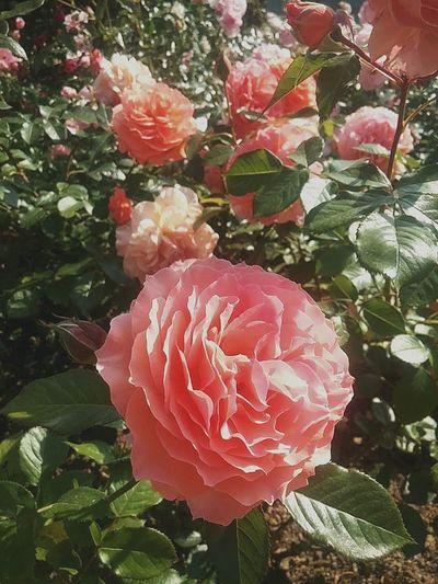 꽃 Flower Nature 장미 데이트 추억