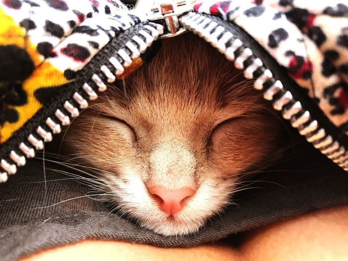 Sleept little kitten Fur Animal Themes Zipper Cat Portrait Cat Photography Hugging Sleeping Cat Red Cat Kitten Cat Happiness One Animal Mammal Feline Cat Close-up Domestic Cat Vertebrate Whisker Relaxation Domestic Animals Pets Portrait
