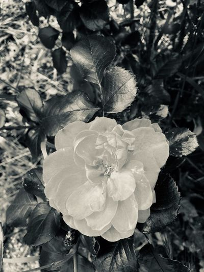 🌸 Monochrome_life Monochrome Roses🌹 Roses Flowerporn Flowers Flower Growth Plant Beauty In Nature Flowering Plant Flower Nature Close-up Vulnerability  Day Fragility Inflorescence No People Freshness Petal High Angle View Flower Head Land Outdoors Field Focus On Foreground