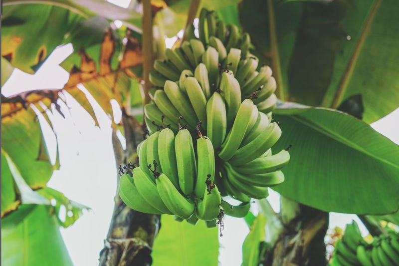 Low angle view of bananas growing on tree