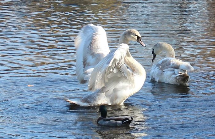 Swans on the lake wings spread water birds duck beauty in nature Water Swan Group Of Animals Animal Themes No People