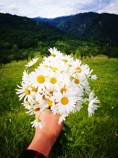 Close-up of hand holding white flowers on field