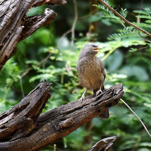 Jungle Babbler. Natureinside Naturewhisperers Natgeo Natgeowildlife birdphotography _soi bird_captures
