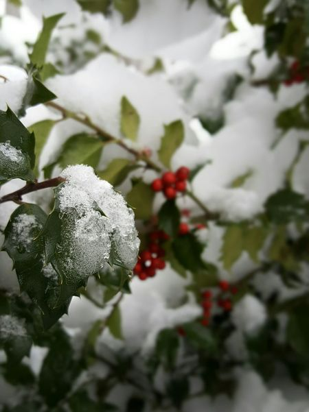 Roll out the holly. Tree Winter Branch LeafGrowth Close-up Nature Red No People ❄ Winter Conditions Outdoors Light From Above Focus On Foreground Plant Beauty In Nature Cold Temperature Berries On Branch Snow
