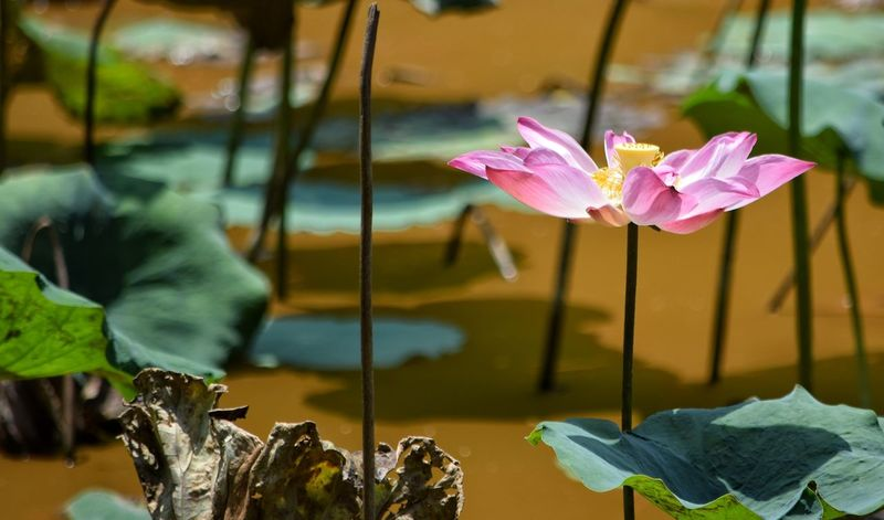 Lotus Water Lily Lotus Flower Lotus Pink Color Water Flower Day No People Plant LeafFlower Head Nature Beauty In Nature Fragility Freshness Close-up Yellow Ipoh Malaysia Water Lily Bright Blooming Visit Ipoh