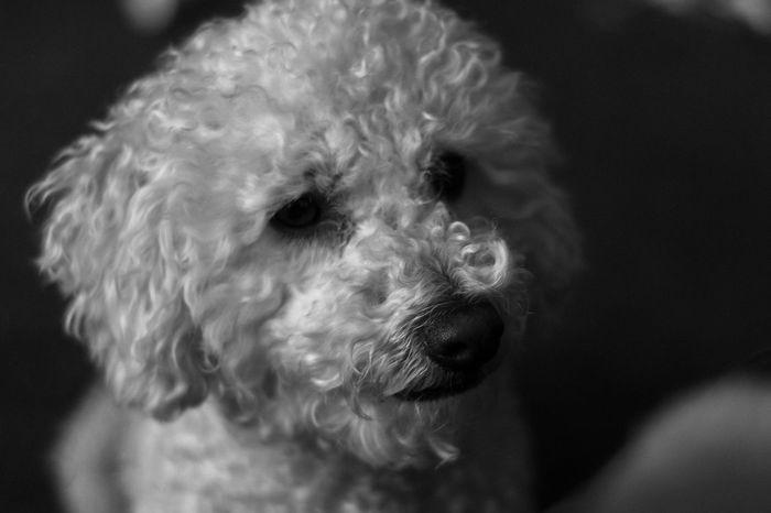 Teddy Bear Blackandwhite Monochrome Nikon Dog Portrait Pets Dog Close-up Animal Nose Canine Animal Hair Animal Mouth