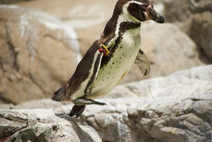 Penguin Animals Animal_collection Jumping