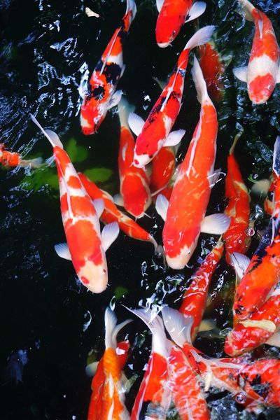 Koi Carp Carp Pond Water Fish Swimming High Angle View Animal Themes No People Close-up Nature Outdoors Large Group Of Animals Day Colorful Fishes Group Of Fish No Filter No Filter, No Edit, Just Photography No Filters Or Effects Fuji X-a2 F1.2 Colorful Nature