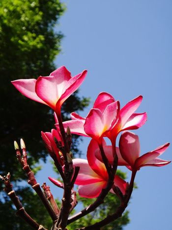 3D Imaging. Plumeria flower. BKK. TH. Plumeria Plumeria Flowers Plumeria Blossoms Travelling Thailand Flower Pink Color Red Nature Beauty In Nature No People Growth Close-up Plant Fragility Outdoors Day Flower Head Sky Freshness
