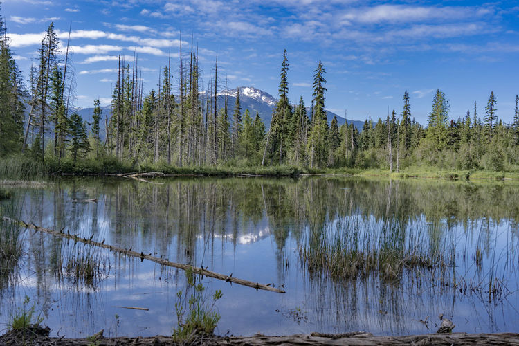 Calm Pond Quiet Blue Sky Canada Clouds And Sky Coniferous Tree Day Green Color Growth Idyllic Lake Nature No People Outdoors Plant Reflection Reflection Lake Remote Sky Summer Morning Tranquil Scene Tranquility Tree Water