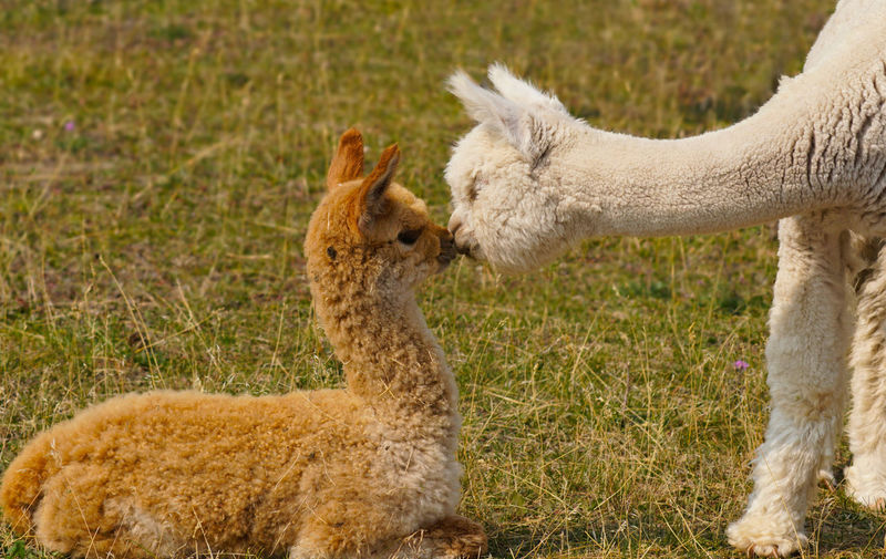 Side view of domestic animals face to face on land