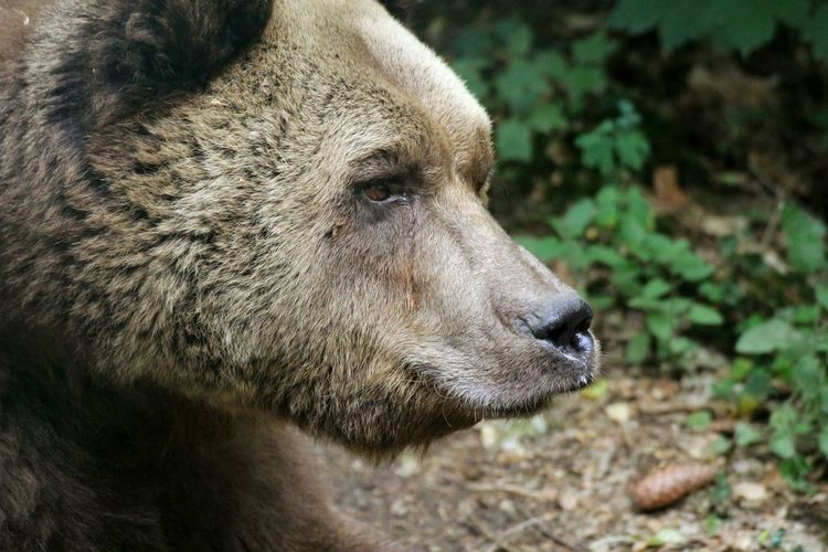 Brown Bear Animal In The Wild Bärenwald Müritz Nature Forest EyeEm Selects Portrait Close-up Bear The Great Outdoors - 2018 EyeEm Awards