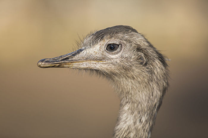 Greater rhea / Rhea americana [Canon EF 300mm f/2.8 L IS II USM] Bird Portrait Animal Portrait Rhea Animal Animal Themes Animal Wildlife Animals In The Wild Argentina Beak Bird Bird's Eye Eyelash Flightless Bird Greater Rhea Nandu One Animal Paraguay Portrait