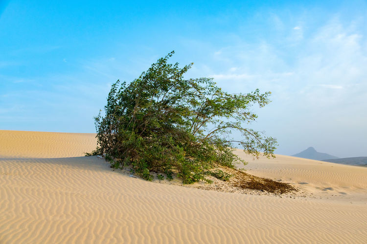 Tree On Sand Dune In Desert Against Sky