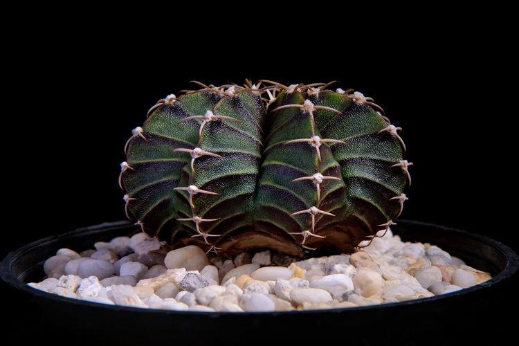 Close-up of succulent plant against black background