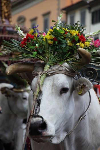 Close-Up Of Cow Decorated With Flowers
