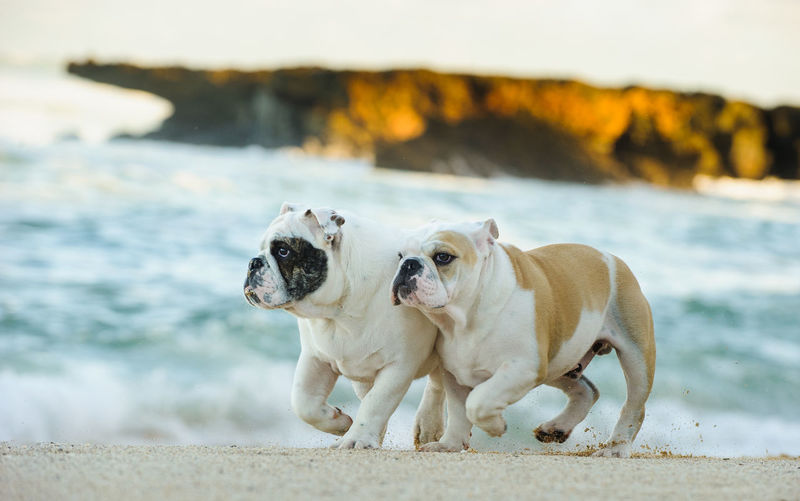 English Bulldog puppy Bulldog English Bulldog Hawaii Running Action Animal Themes Beach Day Dog Domestic Animals English Mammal Nature No People North Shore Outdoors Pets Purebred Dog Sand Two Dogs Water