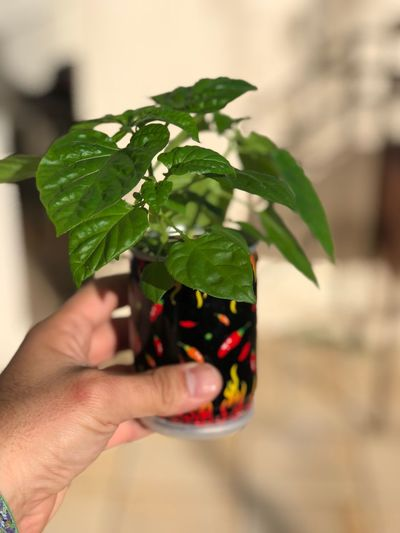 Close Up Planting Plant Stem Plantation Plants 🌱 Plants And Flowers Plant Life Plant Part Plants Plant Pepper - Seasoning Pepper - Vegetable Peppers Pepper Human Hand Hand Leaf Holding Plant Part Human Body Part One Person Freshness Focus On Foreground Close-up Herb Refreshment Body Part