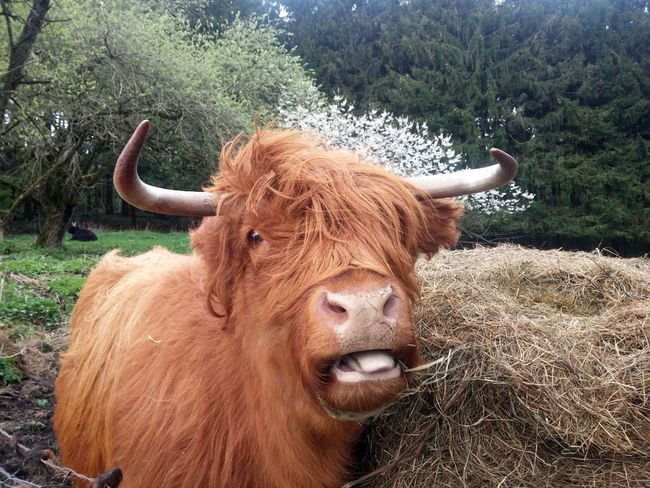 Animal Themes Brown Cattle Close-up Cow Day Domestic Animals Domestic Cattle Domesticated Animal Tag Farm Animal Field Grass Highland Cattle Highland Cattle Horned Kyloe Livestock Mammal Nature No People One Animal Outdoors Schottisches Hochlandrind Standing Tree