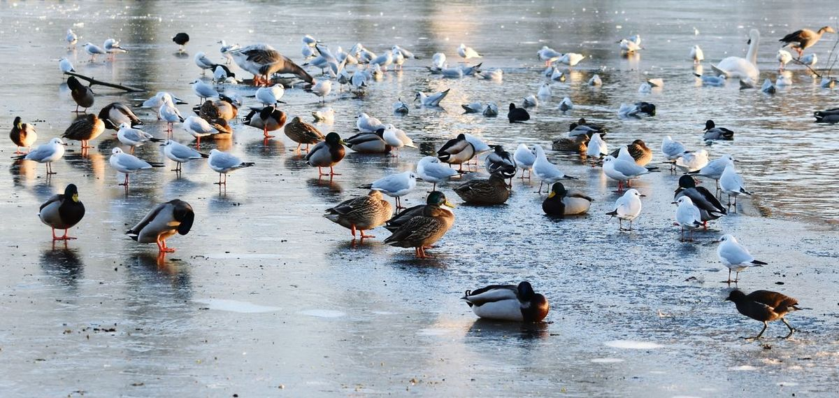 Ice Frozen Lake Frozen Birds Waterfowl Swans Geese Seagulls Moorhen Frost On The Ice Adapted To The City Winter Wintertime Reflections Melting Ice Lake Park Warande Helmond Outdoors Nature