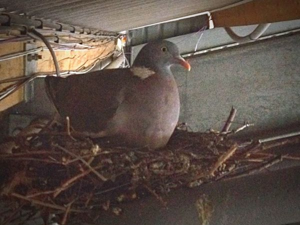 Dramatic Angles pigeon nesting Young Bird