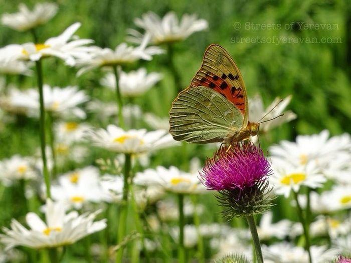 Happy Sunday Armenia Travel StreetsofYerevan Yerevan Butterfly Butterflies Nature Camomile Camomiles