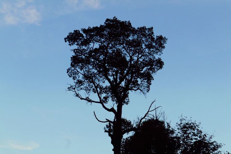 Tree Low Angle View Nature Sky Silhouette Tranquility Day Blue Growth Beauty In Nature Outdoors No People Clear Sky