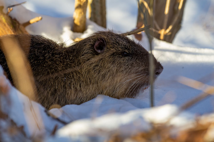 Close-up of an animal during winter