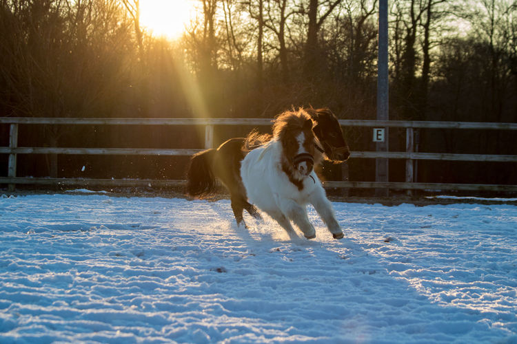 Miniature horses running on snow field during sunrise