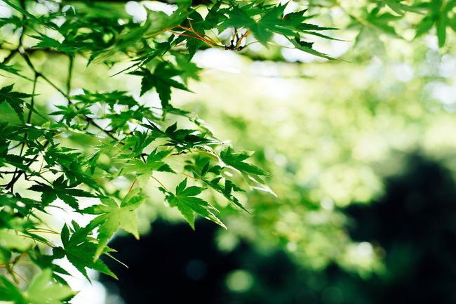 Summer Leaves Summer Green Summer Green Leaves Leafs Saitama , Japan HikawaJinjya Taking Photos EyeEm Nature Lover Enjoy The Sun Color Palette