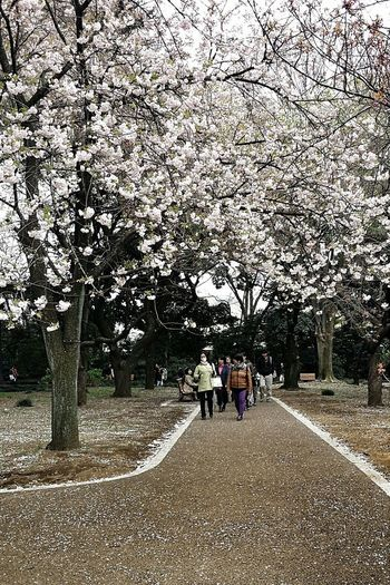 Spring 2015 桜花 Sakura Cherry Blossoms Shinjuku Gyoen National Garden Tokyo, Japan Travel Photography Street Photography