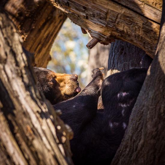 Animal Animal Themes Bear Black Bear Day Mammal Playful Relaxation Selective Focus Tree Wood - Material