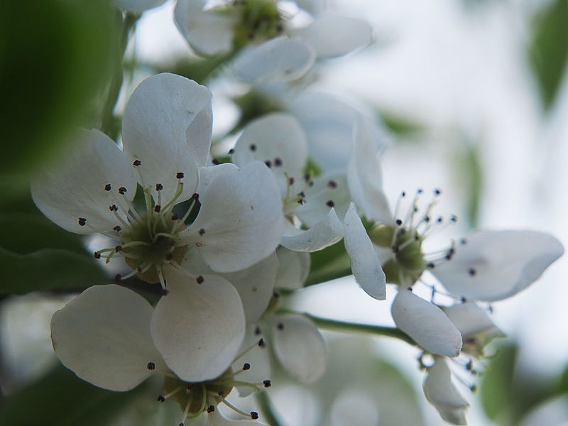 Katarzyna Dziemidowicz Spiring Apple Blossom Beauty In Nature Blossom Botany Branch Close-up Day Flower Flower Head Flowering Apple Tree Focus On Foreground Fragility Freshness Growth Nature No People Outdoors Petal Selective Focus Springtime Stamen Tree White Color White Flowers