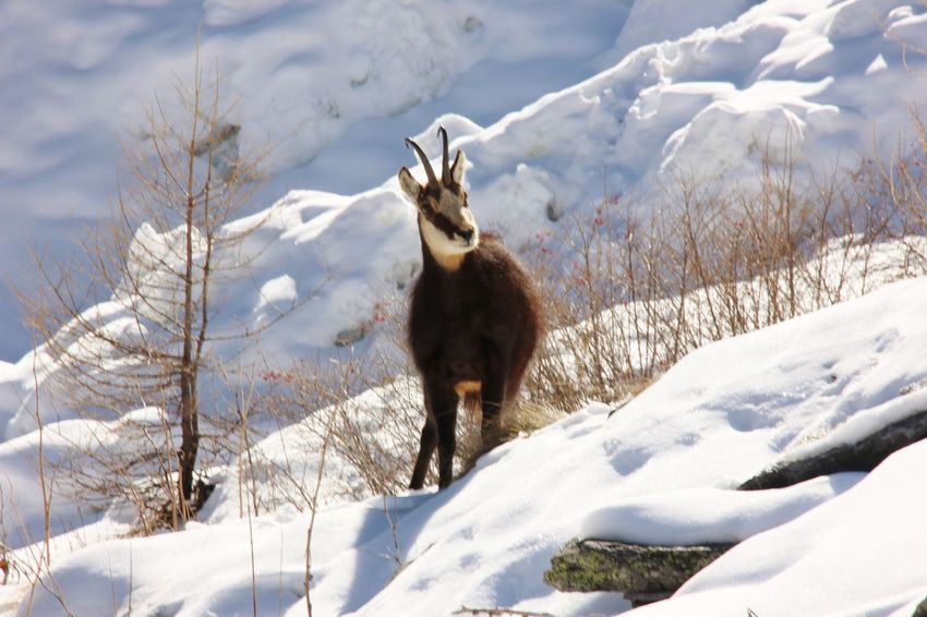 Aosta Valley Cogne Gran Paradiso Horns Snow ❄ Winter Animal Themes Animal Wildlife Animals In The Wild Beauty In Nature Chamois Cold Temperature Fur Gran Paradiso National Park Italy Mammal Mountain Nature No People One Animal Outdoors Snow Snowy Valley Winter