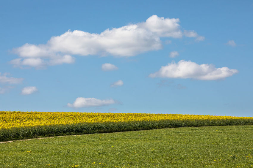 Agriculture Beauty In Nature Blue Cloud - Sky Clouds Copy Space Day Field Freshness Grass Growth Landscape Nature No People Oilseed Rape Outdoors Rural Scene Scenics Sky Spring Sunny Tranquil Scene Tranquility Yellow Yellow Flower