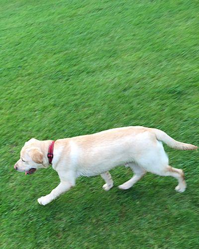 Walkies Labrador Green Grass Dog I Love My Dog Miltonbiscuit