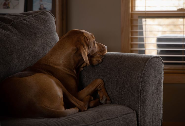 Pondering Viszla Relaxation Sofa Furniture Indoors  Mammal One Animal Pets Canine Animal Themes Dog Home Interior Domestic Animal Domestic Animals Vertebrate No People Brown Resting Comfortable Sitting