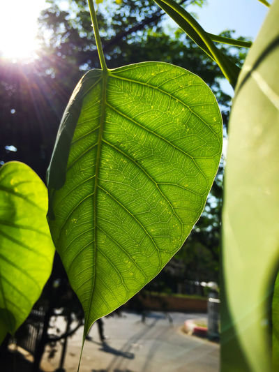 Bodhi green leaf with sunlight photosynthesis Bodhi Tree Bodhitree Photosynthesis Beauty In Nature Bodhi  Bodhi Leaf Close-up Day Fragility Freshness Green Color Growth Leaf Maple Nature No People Outdoors Plant Sunlight Water