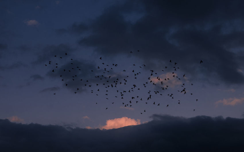Cloud - Sky Sky Flying Animals In The Wild Animal Themes Animal Wildlife Animal Flock Of Birds Bird Group Of Animals Large Group Of Animals Beauty In Nature Silhouette Nature Vertebrate Sunset Scenics - Nature Tranquility Low Angle View Animal Migration No People