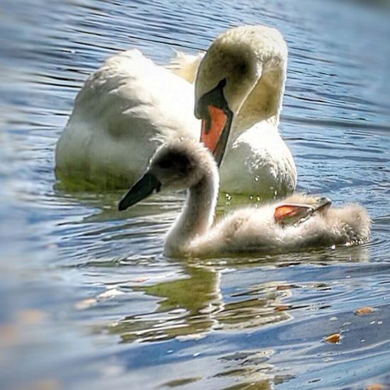 Swan Lake Varese Animal Nature Lombardia Italy