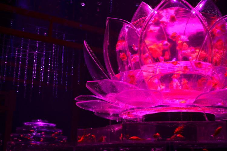金魚 ナイトアクアリウム Aquarium Japan 日本橋 アートアクアリウム Goldfish 日本 Nikon D3100 Singlefocus