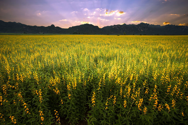 Sunn hemp field with mountain background at sunset Agriculture Beauty In Nature Blooming Botany Day Field Flora Freshness Growth Landscape Mountain Nature No People Outdoors Rural Scene Scenics Sky Sunn Hemp Sunset Tranquil Scene Tranquility Yellow