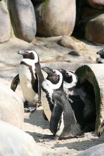Penguin Bird