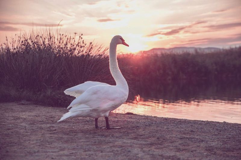 Cygne blanc Cygne Swan Lake Animal Wildlife